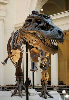 Sue, the largest Tyrannosaurus fossil to date. She currently resides at Chicago's Field Museum. Her actual skull was too heavy to actually place on the display.