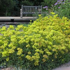 Kannah Creek Buckwheat hails from western Colorado. With a showy display of yellow flowers in late spring, the flowers age to shades of orange and rust by late summer, providing months of low care color. A 2007 Plant Select winner. Drought resistant/drought tolerant plant (xeric).