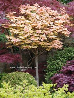Acer pseudoplatanus 'Brilliantissimum'   (Maple) - A popular and reliable small garden tree, Acer pseudoplatanus 'Brilliantissimum' has spectacular shrimp-pink leaves in spring. This vivid pink leaf colour holds for several weeks before the leaves gradually fade back to creamy green in mid to late summer