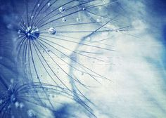 Picture of Beautiful blue dandelion background, macro photo of dry taraxacum flower with dew drops, beauty of nature detail, gentle floral wallpaper stock photo, images and stock photography. Salon Signs, Taraxacum, Anna, Lip Shapes, Beauty Makeup Photography, Salon Names, Beauty Hacks Video, Beauty Quotes, Dandelion
