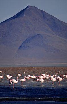 Flamingos wurde in Bolivien, Uyuni aufgenommen und hat folgende Stichwörter: Südamerika,  Bolivien,  Laguna Colorada.