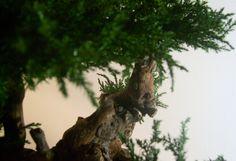 Artificial preserved bonsai juniper tree