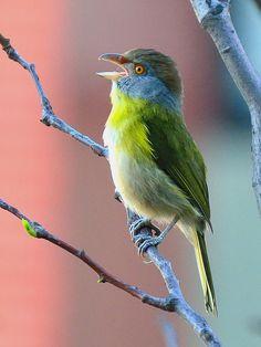 Foto pitiguari (Cyclarhis gujanensis) por Fernando Prado | Wiki Aves - A Enciclopédia das Aves do Brasil