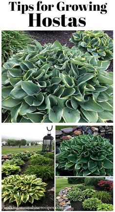 Easy Garden Design Here are a few tips on growing hostas for your garden from Walking on Sunshine Recipes. Garden Design Here are a few tips on growing hostas for your garden from Walking on Sunshine Recipes. Hosta Plants, Shade Plants, Monrovia Plants, Shade Perennials, Hostas For Shade, Cactus Plants, Indoor Cactus, Shade Flowers, Cactus Art