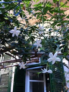 Jasmin growing on a trellis in Damascus, Syria The Beautiful Country, Beautiful Places, Beautiful Flowers, Syria Country, Syria Before And After, Save Syria, Cradle Of Civilization, Aleppo, Art And Architecture