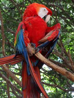 Arara roja, 2013 ©Fabiana Prats Krings
