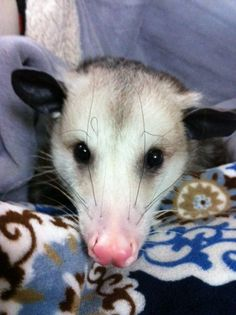 A very handsome young opossum!!!!