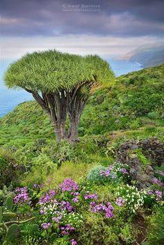 DRAGO Island Food, Canario, Canary Islands, Beautiful Islands, Paradise, Places, Las Palmas, Nature, Pintura