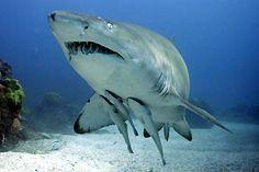Grey Nurse Shark with babies, at Julian Rocks, Byron Bay, NSW, Australia Cat Shark, Nurse Shark, Underwater Images, Underwater Sea, All Types Of Sharks, Deadly Creatures, Cool Sharks, Shark Photos, The Blue Planet