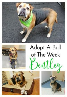 Adopt-A-Bull of The Week – Bentley in Pennsylvania | http://www.thelazypitbull.com/adopt-a-bull-bentley/