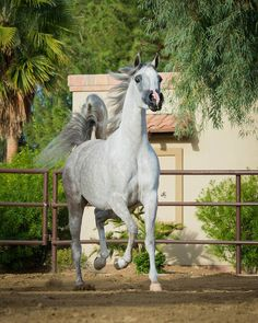 JAMAICA NA (WH JUSTICE × FALCONS LOVENOTE BHF) 2014 grey mare bred by North Arabians
