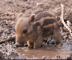 Wildlife – Africa – A baby warthog cooling off in a mud puddle. Wildlife Nature, Nature Animals, Animals And Pets, Cute Creatures, Beautiful Creatures, Animals Beautiful, Wallpaper Pig, Baby Warthog, Cute Baby Animals