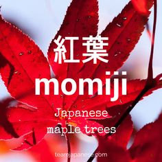 momiji - the Japanese word for maple. Seasons are very important in Japan. Japanese people honour the changing seasons with special food, drink, festivals and customs. And of course, there are special seasonal words too! Increase your Japanese vocabulary with this list of Japanese words and phrases for autumn and fall. Click through to the blog post on Team Japanese to learn more autumn Japanese words now!