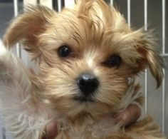 Ali is an adoptable Yorkshire Terrier Yorkie Dog in New York, NY. Ali is an itsy bitsy little princess.  She is very playful, adapts well to new surroundings. Was seen on live with Kelly and Michael