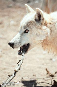 Magnifique loup blanc <3 <3 <3