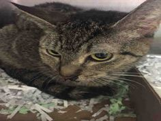 OPHELIA - A1053323 - - Manhattan  *** TO BE DESTROYED 10/08/15***SECOND CHANCE FOR SWEET OPHELIA!! TERRIFIC TABBY WITH GREAT BEHAVIOR RATING NEEDS YOU-BE OPHELIA'S HERO! Ophelia is a four year old fab feline who desperately needs us to advocate for her tonight. It seems that this lovely lady has recently spent some time on the street. Yet with her sweet disposition, it is quite likely she was once someone's beloved pet. Ophelia will may need some follow up vetting for a