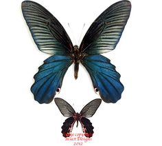 Image result for papilio alcmenor butterfly images