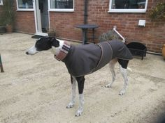 Whippet-greyhound-LURCHER-walking-out-impermeable-manteau-034-4-mesures-necessaires