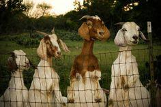 Got Snacks??  Goats Shared by Lassensloves.com