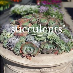 newport beach lots of succulent ideas! Succulent Ideas, Succulent Gardening, Succulent Terrarium, Garden Plants, Container Gardening, Growing Succulents, Cacti And Succulents, Planting Succulents, Planting Flowers