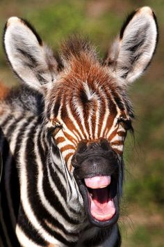What's so funny? A baby zebra has a laugh - before he's even cut his teeth!  #zebras #animals #wildlife