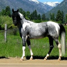 .How odd & beautiful! Blue roan pinto