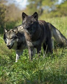 Such beautiful wolves!