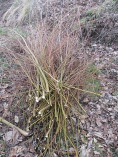 2 - [It] I rami di salice potati. [En] Some willow branches after pruning.