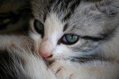 azzurro, gatto, cat