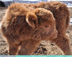 Baby Scottish Highland Cow love at first sight adorable.