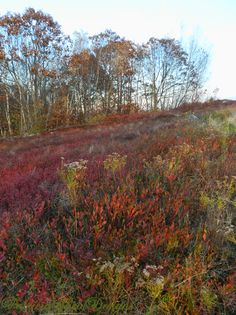 Blueberry Hill, Maine - you can appreciate this hill if you ever raked blueberries as a summer job!