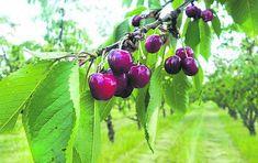Kam na třešně? Tři odrůdy na jihu Moravy! Cherry, Fruit, Prunus