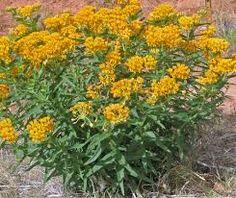 yellow milkweed - Google Search