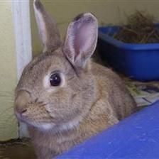 Bunny is looking for a home with Buggs (5114). They are looking for a quiet home where they can have time spent with them as they are a liitle shy. Since being at the shelter they have grown in confidence and will eat food out of your hands. If you think you might be able to offer this lovely pair of rabbits a home please contact the Godmanchester shelter.