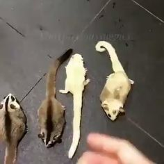 gliders Sugar Glides, sugar gliders as a pet, sugar gliders care. / Check our site with pet product - Sugar Glides, sugar gliders as a pet, sugar gliders care. / Check our site with pet product - Cute Little Animals, Cute Funny Animals, Cute Cats, Sugar Glider Care, Sugar Gliders, Sugar Glider Toys, Cute Animal Videos, Tier Fotos, Cute Creatures