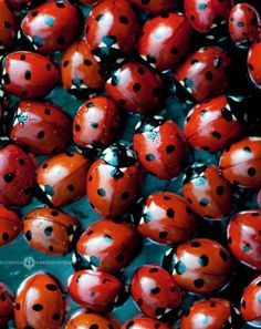 Ladybugs are predatory beetles that eat a large number of aphids (plant lice) and other harmful bugs. Even in the larval stage, ladybugs will normally consume hundreds of aphids and will grow into adults that may eat up to 5,000 aphids in a lifetime. This greatly reduces the population of harmful insects that will otherwise destroy your plants.