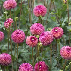 Dahlia (Ball Type) Burlesca