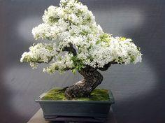 Los 26 bonsáis más b
