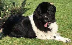 dernieres_infos Newfoundland, Dog Breeds, Dogs, Animals, Animales, Animaux, Animal Memes, Animal, Pet Dogs