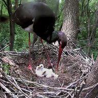 Tóbiást, a fekete gólyát fióka korában 1999-ben gyűrűzték Bogyiszló környékén, a mostani fészektől nem messze. 2000 januárjában Izraelben azonosították a gyűrűje alapján a madarat, majd kilenc évvel később szintén a Jordán folyónál találkoztak vele.  Tóbiás és a párja 2012-ben készítette a fészket, amelyre a következő év elején kerültek fel a kamerák a Gemenc Zrt., a Magyar Madártani és Természetvédelmi Egyesület és a Duna-Dráva Nemzeti Park együttműködésének eredményeként. A projekt célja… It Hurts, Wildlife, Photo And Video, Animals, Animales, Animaux, Animal, Animais