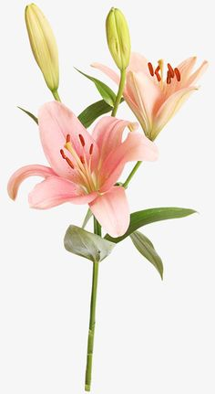 More than 3 million PNG and graphics resource at Pngtree. Find the best inspiration you need for your project. Exotic Flowers, Pink Flowers, Paper Flowers, Beautiful Flowers, Lilies Flowers, Tropical Flowers, Yellow Roses, Pink Roses, Art Floral