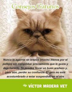 """Consejo Gatuno de la semana- Victor Madera: """"Nunca lo agarres en brazos (mucho menos por el pellejo) sin comprobar previamente que le gusta y deja hacerlo. Te puedes llevar un buen arañazo y, peor aún, perder su confianza. El gato no está acostumbrado a estar suspendido en el aire"""" #VictorMadera #gatos #cats #pets #mascotas"""