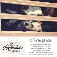 12 days of agriculture...cattle