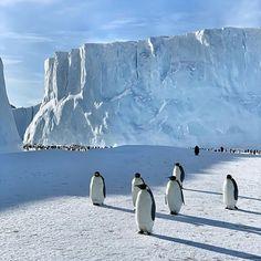 Penguin Bird, Sea Ice, Farm Hero Saga, Life Photo, Antarctica, Kittens Cutest, Animal Pictures, Cute Puppies, Emperor Penguins