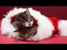Christmas Cute Off: Cats v Puppies. Cats 101, Cats And Kittens, Christmas Animals, Christmas Cats, Kitten Photos, Owning A Cat, Cat Behavior, Cute Images, Cat Love