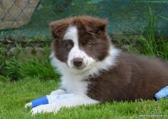 Red Border Collie Puppy