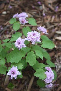 Fairy Garden plants, plants for Fairy Gardena, Fairy Garden plant list, dwarf plants