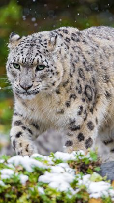 Snow Leopard -  Predator - Big Cat
