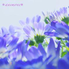 #サイネリア#Cineraria#flower
