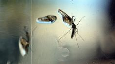 Hawaii has nearly 250 confirmed cases of the mosquito-borne virus since September 2015. State health officials say dengue symptoms include fever, rash, severe headaches and eye, joint and muscle pain.
